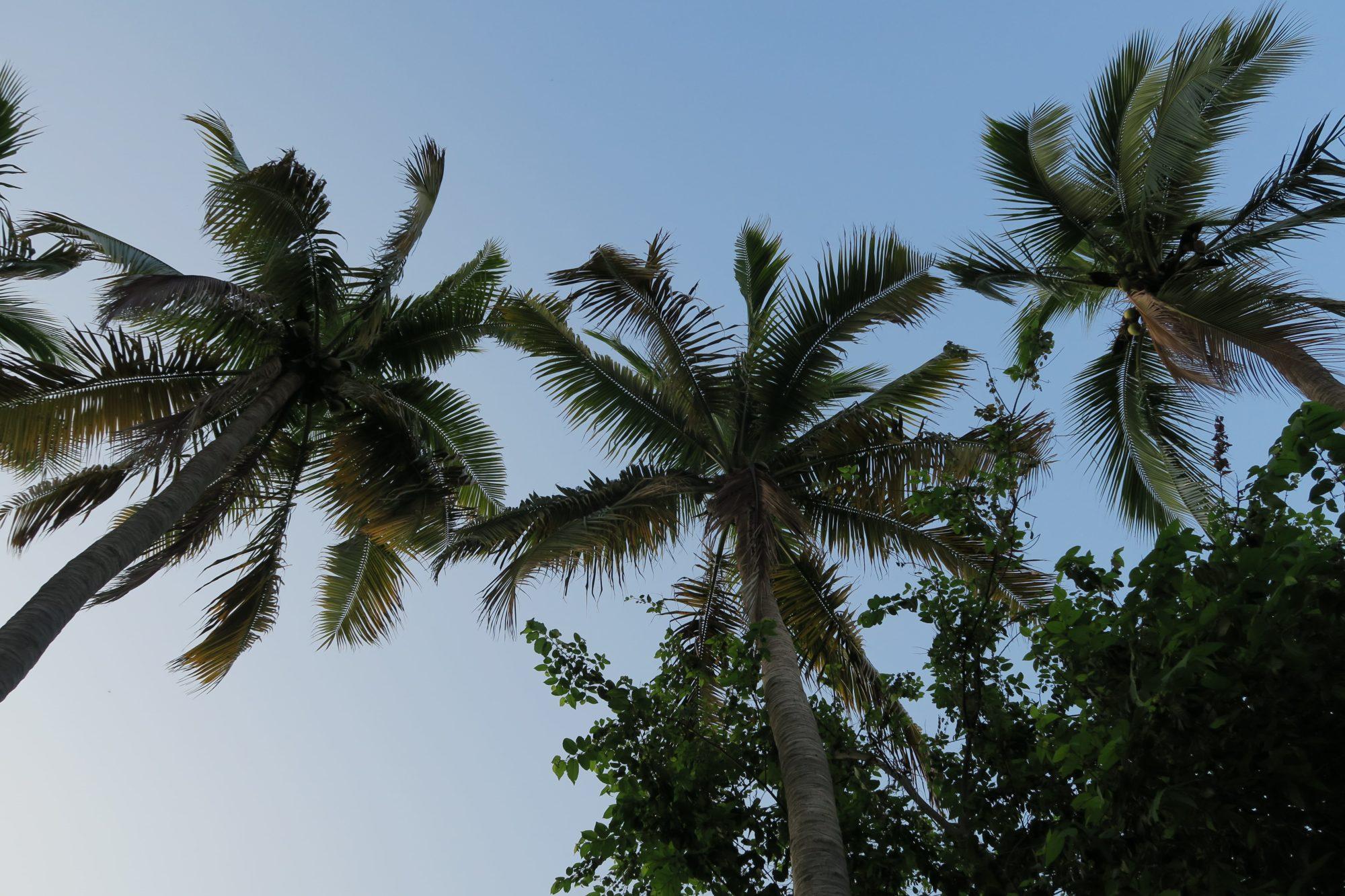 mazunte oaxaca palmen